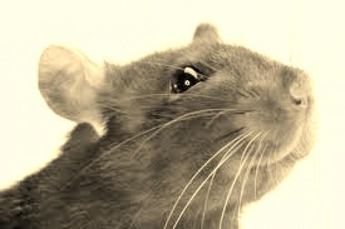 Cabraal l'aventureux (épisode 3) rat-noir1-e1347651318899